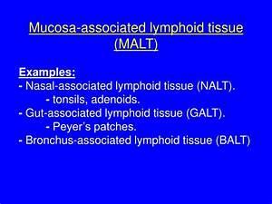 PPT - Mucosal Immunology PowerPoint Presentation - ID:2938961