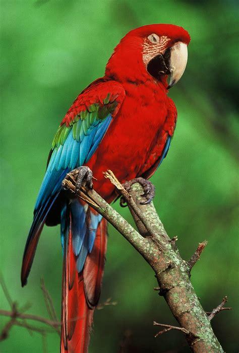 pet parrot top 10 best kind of pet parrots