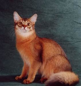Somali Cat Blue, Ruddy, Red Breed Info, Personality ...
