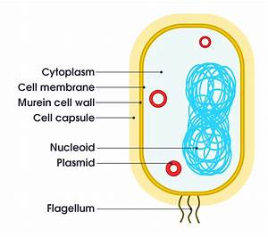 File Simple Diagram Of Bacterium  En  Svg