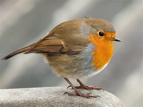Robin Wallpaper And Background  1600x1200 Id455636
