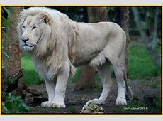 le plus beau lion blanc du monde
