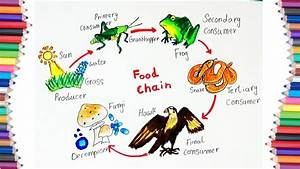 How To Draw  U0026quot Food Chain U0026quot  Diagram For Kids