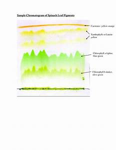 Spinach Leaf Pigments : 6 Leaf Chromatography Pictures ...