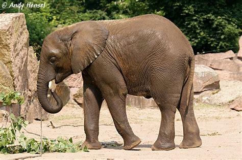 elefant fotos tier fotoseu