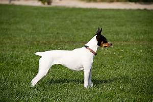 42 best images about CHILEAN TERRIER on Pinterest ...