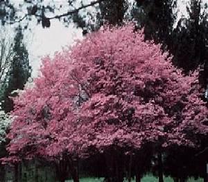 Cornus Florida Rubra : p pini res chouvenc famille arbustes pepiniere pepinieriste botanique arbre arbuste ~ Frokenaadalensverden.com Haus und Dekorationen