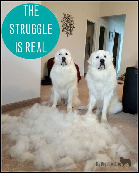 Great Pyrenees Shedding Undercoat by 93 Best Images About Pyrenees On Baby