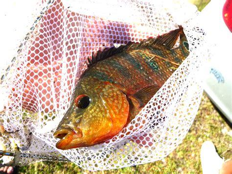 peacock bass aquarium taste grouper fish