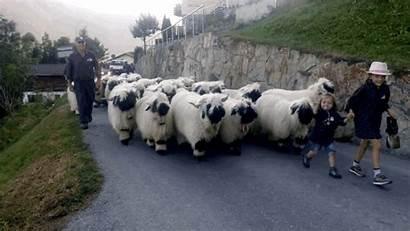 Sheep Blacknose Valais Wool Boredpanda