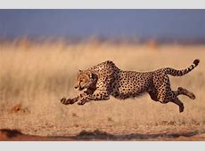 gepard GoogleSuche gepard vs rhionzeros