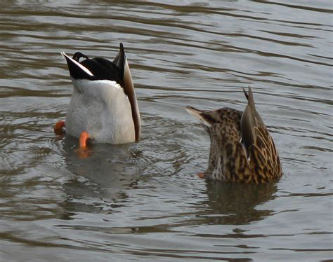 what do mallard ducks eat file ducks eating jpg wikimedia commons