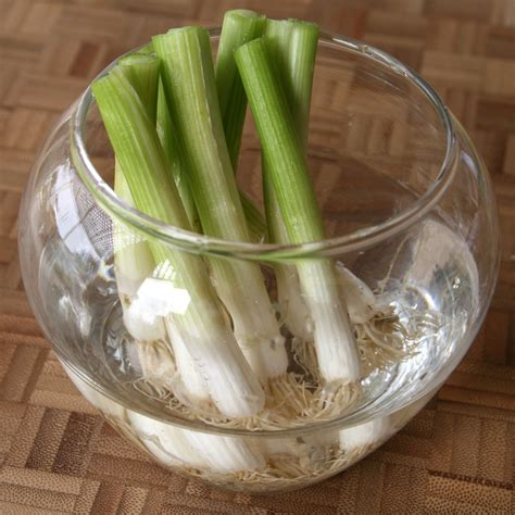green onions how to cut img 1838 how to cut green onions to regrow in water vegetables pinterest grow green onions