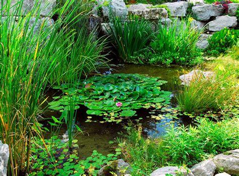 Teichpflanzen Fuer Verschiedene Wasserzonen by Teichzonen Passende Wasserpflanzen Zooroyal Ratgeber