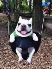 popular french bulldog gifs everyones sharing