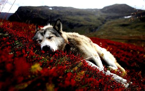Computer Aesthetic Wolf Wallpaper by Flowers Flowers Animals Sleeping Siberian