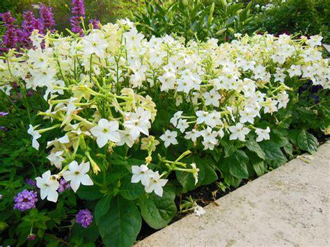 flowering tobacco flowering tobacco nicotiana growing tips