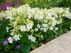 Flowering Tobacco – Nicotiana Growing Tips