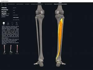 Muscles  Tibialis Posterior   U2013 Anatomy  U0026 Physiology