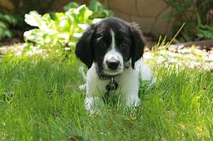 English Springer Spaniel & Collie mix | All things DOG ...