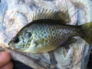 Hybrid Warmouth x CN BlueGill | Sunfish-Including ...