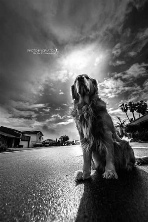 Golden Retriever Photo Orange County La Pet Photography
