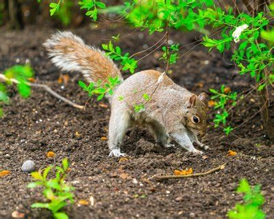 You may also have success using coffee grounds to repel mammals, including cats, rabbits and deer. How To Keep Squirrels Out Of Plants Flowers