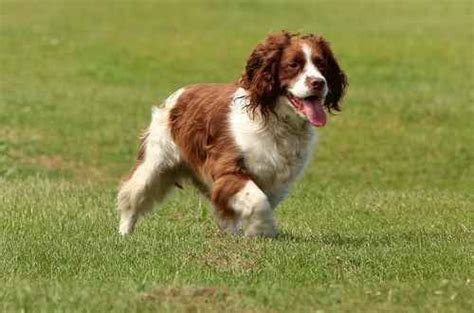 english springer spaniel dog breed information