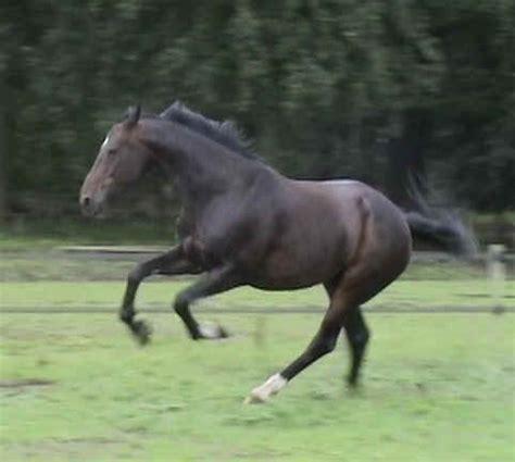 canter straightness training academic art  riding