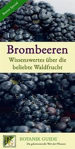 Wann Sind Brombeeren Reif : brombeeren wissenswertes ber die beliebte waldfrucht brombeeren tomaten z chten und ~ Watch28wear.com Haus und Dekorationen