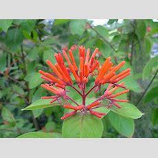 Firebush Florida Native Plants  Index Of Plantsflorida