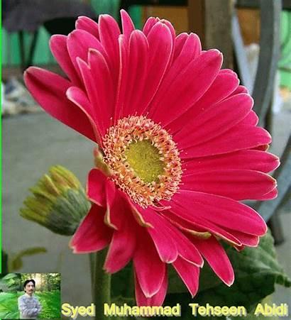 Flowers Flower Gerbera Tehseen Abidi