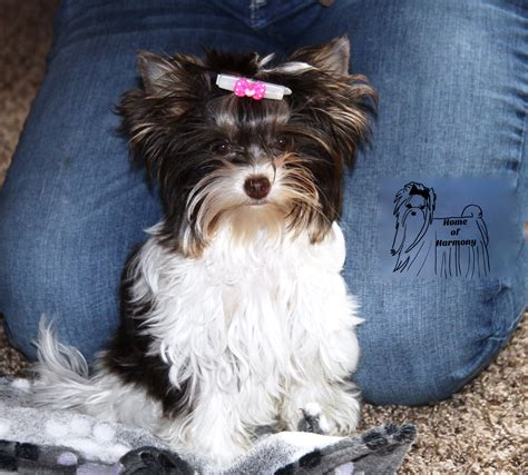 cookie  biro yorkshire terrier ginger home  harmony