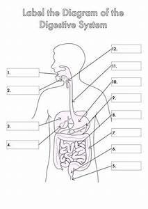 Digestive System Diagram With Labels Unique Four Human