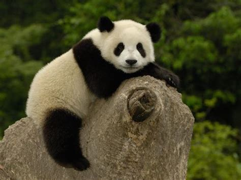 Giant Panda Baby, Wolong China Conservation And Research