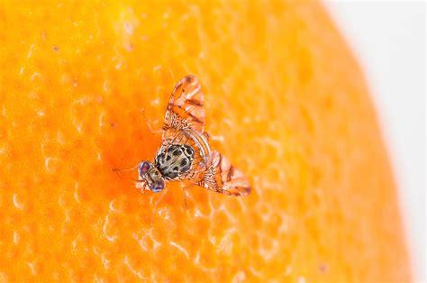 https://www.biologischer-pflanzenschutz.org/mittelmeerfruchtfliege-ceratitis-capitata/