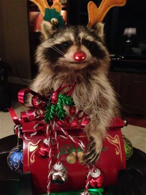 rudolph  raccoon christmas taxidermy mount  slay