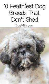 10 healthiest dog breeds that don t shed dogvills