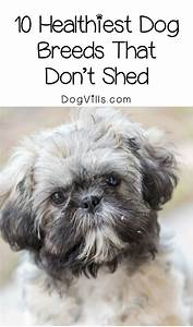 Dog Breeds That Dont Shed Hypoallergenic Dogs | Autos Post