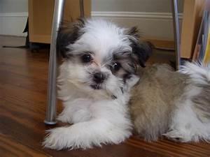 Shih Tzu Maltese Mix Puppies Price | Doggies | Pinterest ...