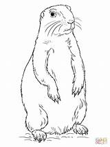 Prairie Dog Coloring Pages Drawing Printable Standing Illinois Sheet Tags sketch template