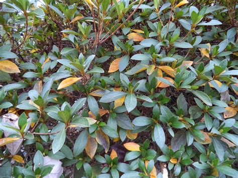 rhododendron leaves turning yellow uga extension in cobb county azalea leaves turning yellow dropping