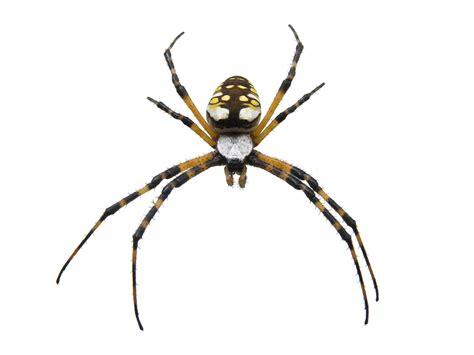 Common Garden Spiders