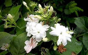 Jasmin Pflanze Winterhart : indischer jasmin pflanze jasminum multiflorum jasmin jaborosa jojoba pflanzen ~ Frokenaadalensverden.com Haus und Dekorationen
