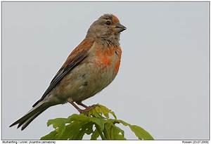 Vogel Mit Roter Brust : h nfling foto naturfotografie digital bilder mit beschreibung ~ Eleganceandgraceweddings.com Haus und Dekorationen