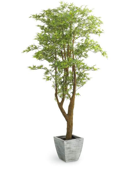 indoor tree plants 11 best images about indoor plants for the living room on pinterest trees indoor trees and lady