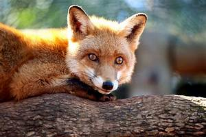 Mr Fox : fantastic mr fox wallpaper wallpapersafari ~ Eleganceandgraceweddings.com Haus und Dekorationen