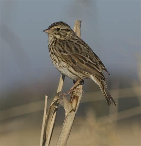 sw louisiana birds savannah sparrow