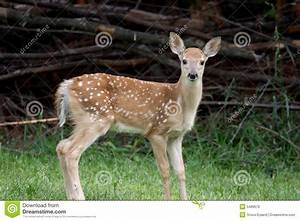 Baby White-tailed Deer Royalty Free Stock Image - Image ...