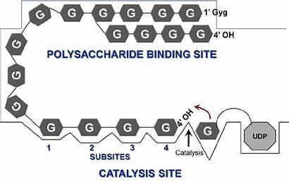 Binding Active Polysaccharide Gs Presence Separate Publication